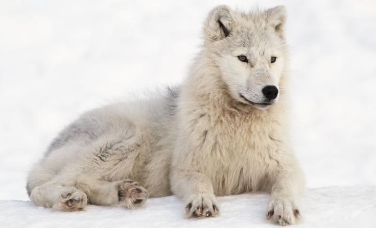 Arctic_Wolf_in_Montebello,_Québec,_Canada